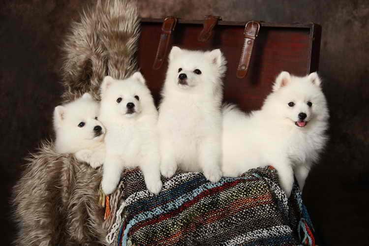 Белоснежный красавец – американский эскимосский шпиц (эски)