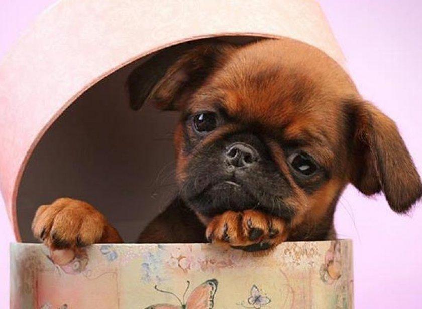 Пти брабансон собака. описание, особенности, уход и цена породы | sobakagav.ru
