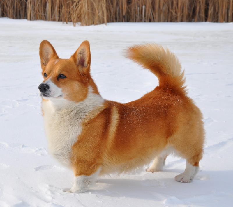 Собаки с короткими лапами (40 фото): названия пород коротконогих собак с большими ушами. уход за коротколапыми щенками