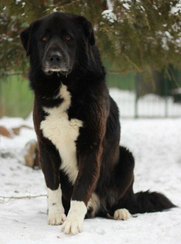 Южнорусская овчарка - описание породы собак с фото и видео южака