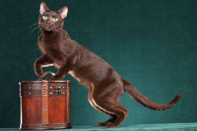 Кошка гавана: 120 фото кошки, характер, цена котенка, содержание дома, факты, история выведения, уход