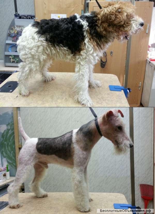 После тримминга желтеет шерсть у белой собаки: почему и что делать