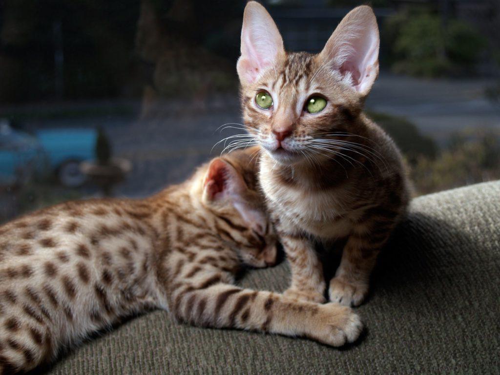 Оцикет: покупка котенка, кормление и содержание