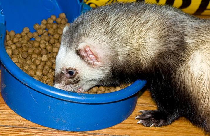 Правильное питание хорьков. рекомендации по кормлению домашних хорьков