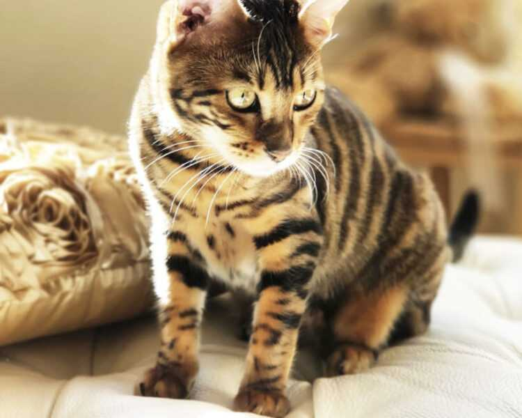 Кошка тойгер: описание породы, особенности характера, уход и отзывы владельцев