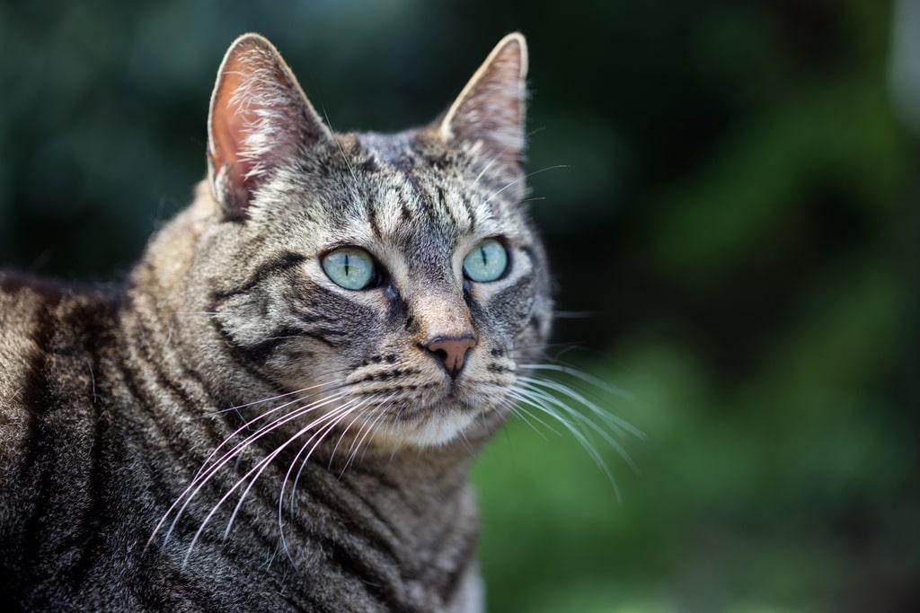 Описание и фото азиатской табби, стандарт породы короткошерстных кошек, особенности содержания