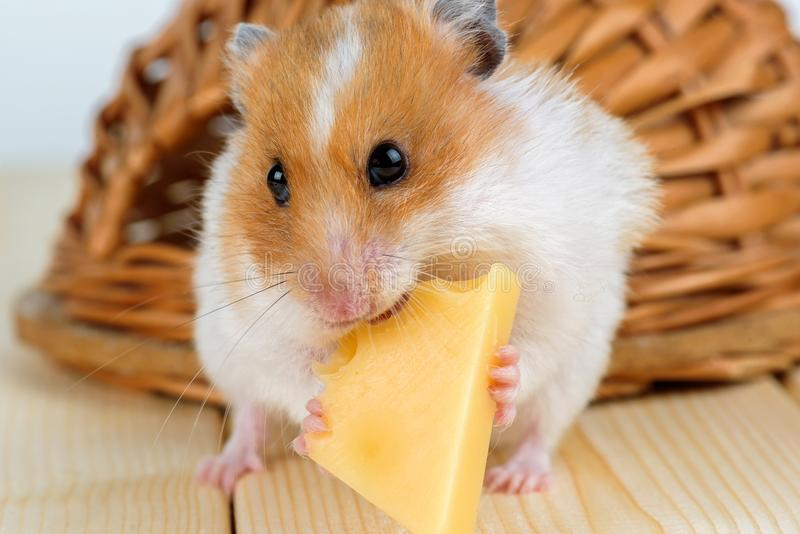 Можно ли хомякам сыр (джунгарикам, сирийским и другим породам)