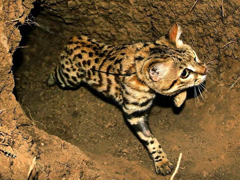 Черноногая кошка: описание, внешний вид, характер, ареал обитания, цена