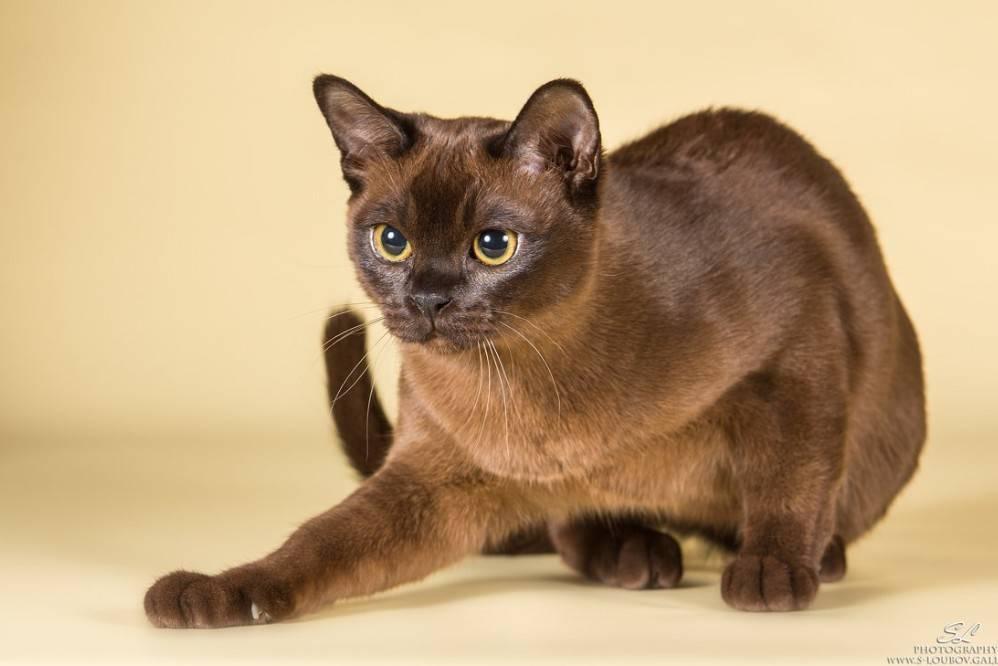 Бурманская кошка (бурма) фото, цена и описание породы бурма