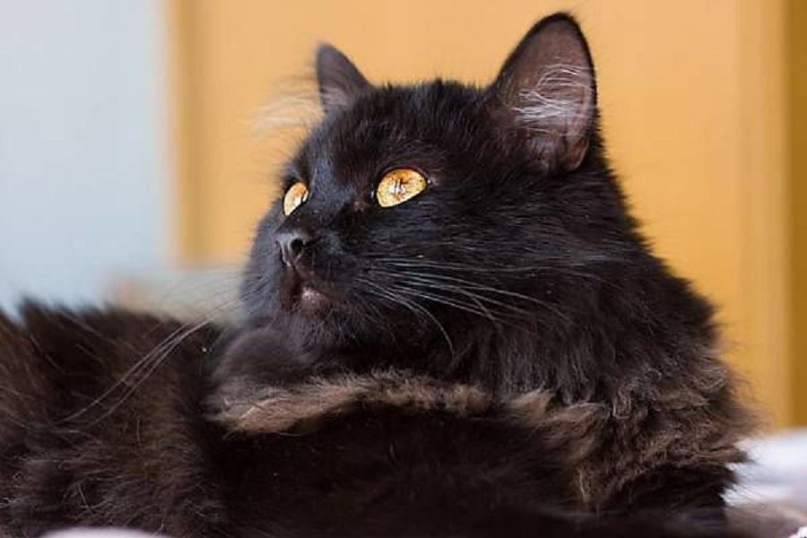 Тиффани - порода кошек - информация и особенностях | хиллс