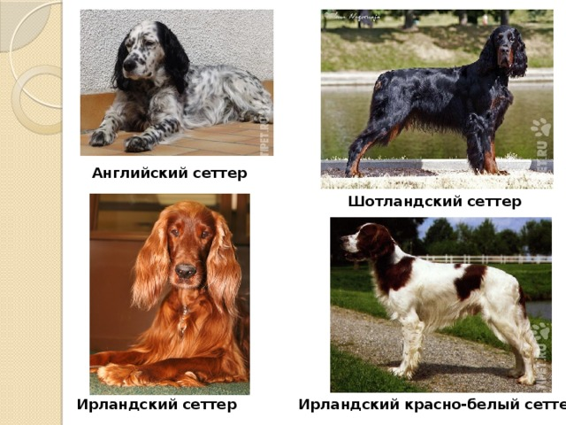 ᐉ русский сеттер описание породы - zoomanji.ru