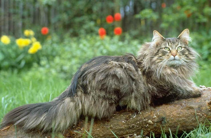 Норвежская лесная кошка: здоровье, уход и типичные болезни породы. описание характера, сколько живут и чем питаются (60 фото)