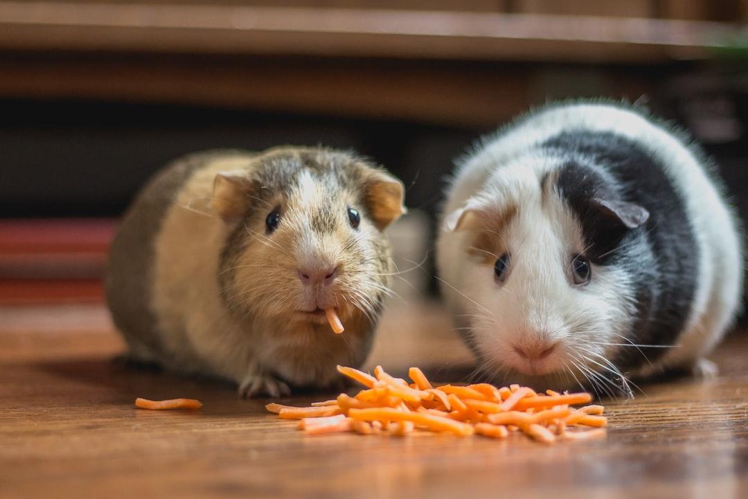 Какими продуктами можно кормить морских свинок
