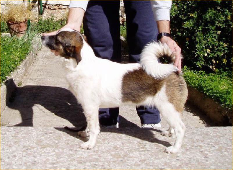 Порода собаки мелитео кинидио