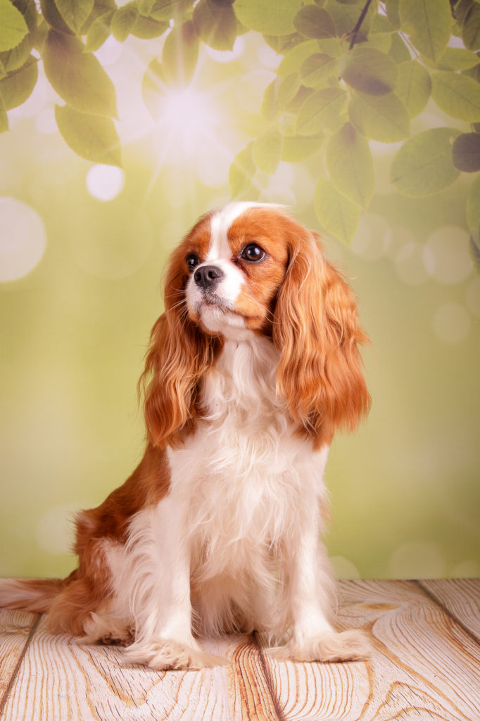 Кавалер-кинг-чарльз-спаниель фото, описание породы, цена щенков, отзывы