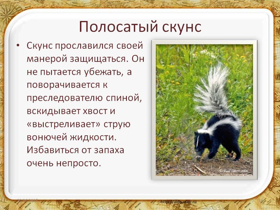 Скунс полосатый | мир животных и растений