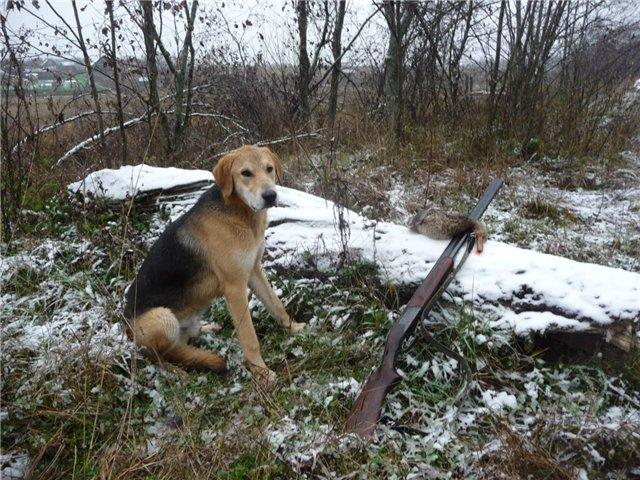 Правила натаскивания и дрессировки охотничьих собак
