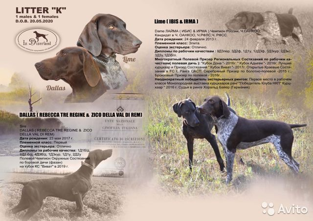 Курцхаара собака описание породы
