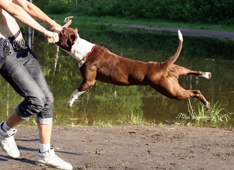 Характеристика собаки породы питбуль