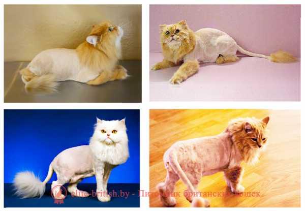 Британская короткошерстная: 200 фото, описание породы кошек от а до я, интересные факты, внешний вид
