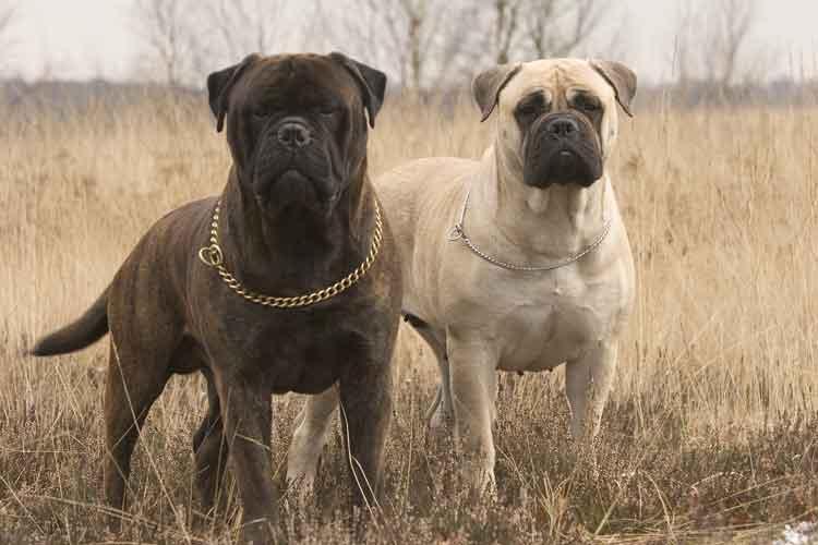 Бульмастиф: все о породе, фото, характер, факты, плюсы и минусы собаки, взаимоотношение с человеком