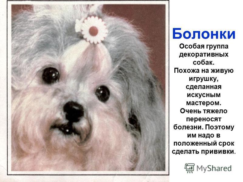 Виды болонок — фото и описание группы пород собак с названиями