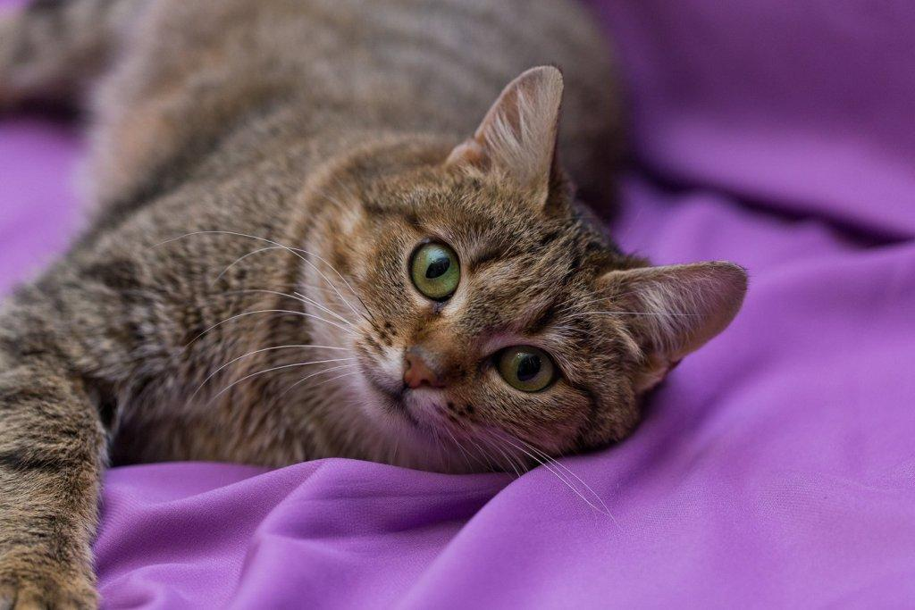 Кошки » породы » азиатская табби