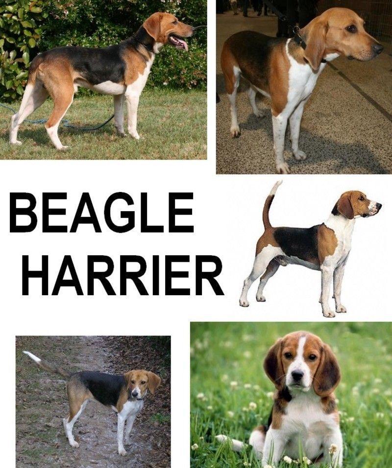 Собаки породы бигль: фото, описание характера, принятые стандарты и особенности содержания + как выбрать щенка?