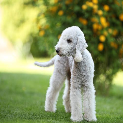 Бедлингтон терьер: фото, характер, цена на щенков, описание породы, окрасы собаки