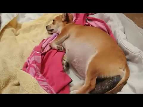 Почему собака кашляет и чем лечить - здоровье животных   сеть ветеринарных клиник, зоомагазинов, ветаптек в воронеже