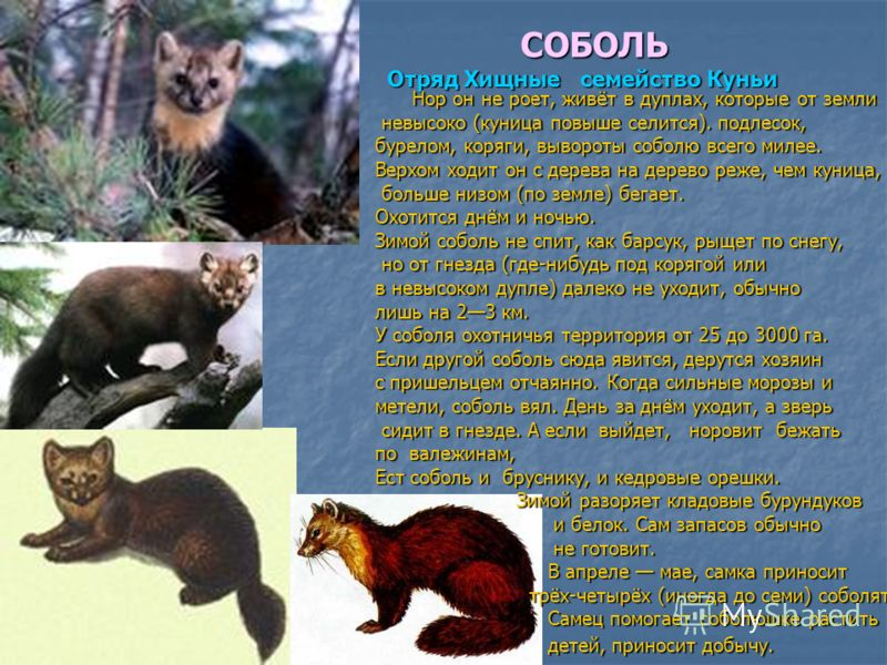 Ласка животное: фото и описание. внешность ласки, размер, места обитания и повадки зверя куница фото куниц
