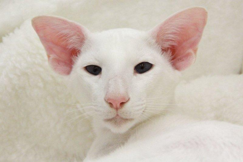 Белая сиамская кошка: особенности породы и содержания