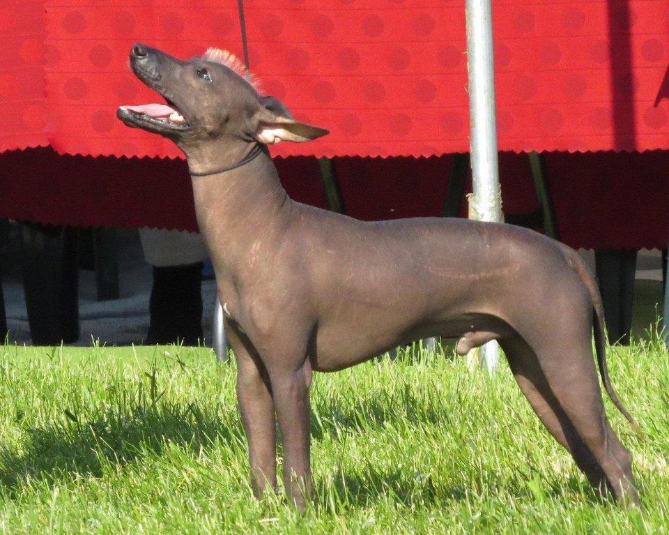 Питомник собак sonderwol legend. перуанская голая, мексиканская голая собачка. россия, москва