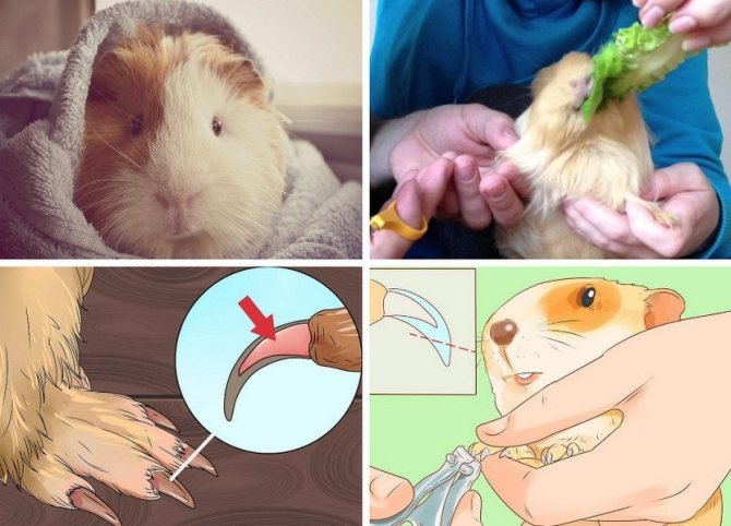 ᐉ как подстричь когти морской свинке в домашних условиях: пошаговая инструкц - zoopalitra-spb.ru