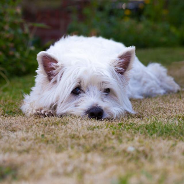 Вест-хайленд-уайт-терьер: история, характер, стандарт, уход и правила выбора щенка (+ фото и видео)