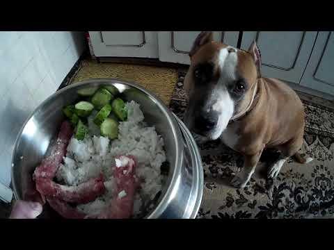 Стаффордширский терьер: все о собаке, фото, описание породы, характер, цена