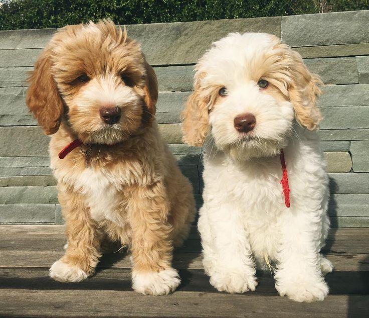 Гипоаллергенные собаки (41 фото): список маленьких и больших пород неаллергенных собак для квартиры. как выбрать щенка для детей?