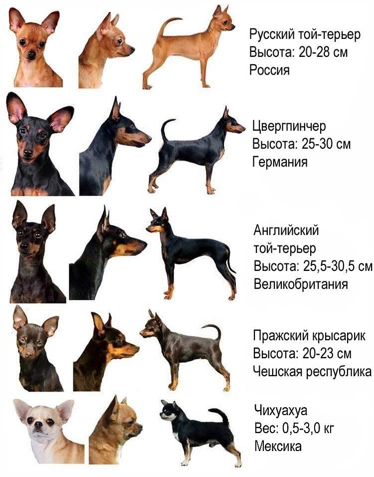 Чихуахуа: все о собаке, фото, описание породы, характер, цена