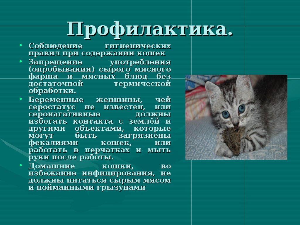 Токсоплазмоз у кошек: симптомы и признаки (как проявляется), прививка - здоровье животных | сеть ветеринарных клиник, зоомагазинов, ветаптек в воронеже