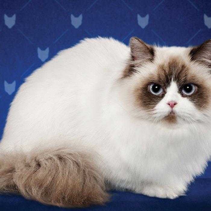 Порода кошек наполеон (менуэт): фото и описание - kotospravka