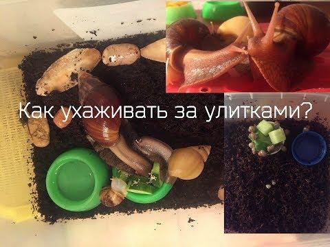 Чем и как кормить улиток ахатин в домашних условиях?
