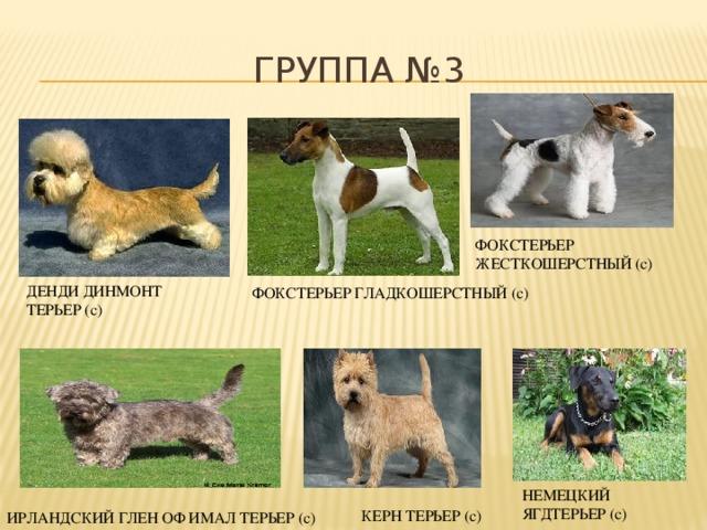Терьеры - все породы с фото, характеристиками, ценами на щенков