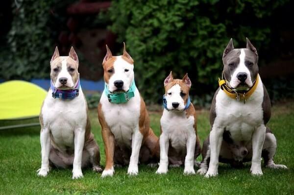 Стаффордширский бультерьер: описание породы, характер собаки и щенка, фото, цена