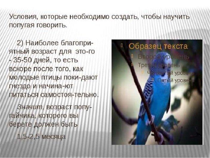 Как научить попугая разговаривать: руководство и аудиоуроки