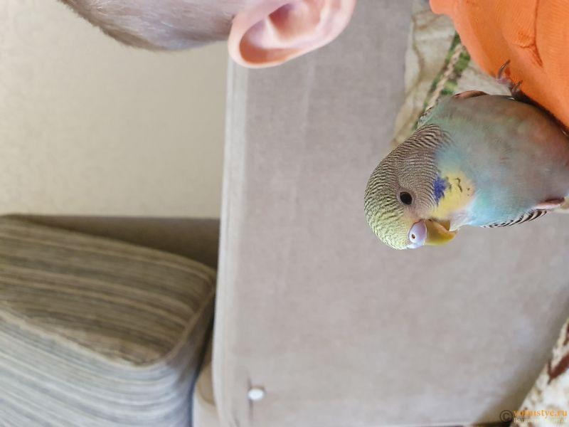 Способы определения пола волнистого попугая