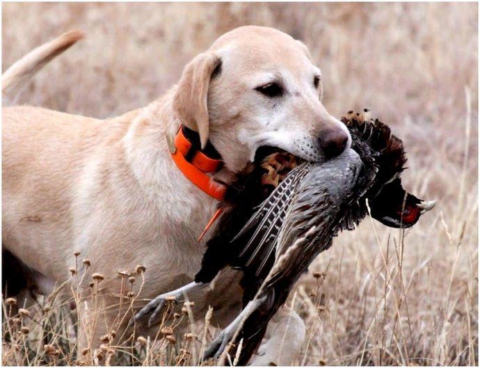 Охотничьи породы собак: разновидности, описание и характеристики