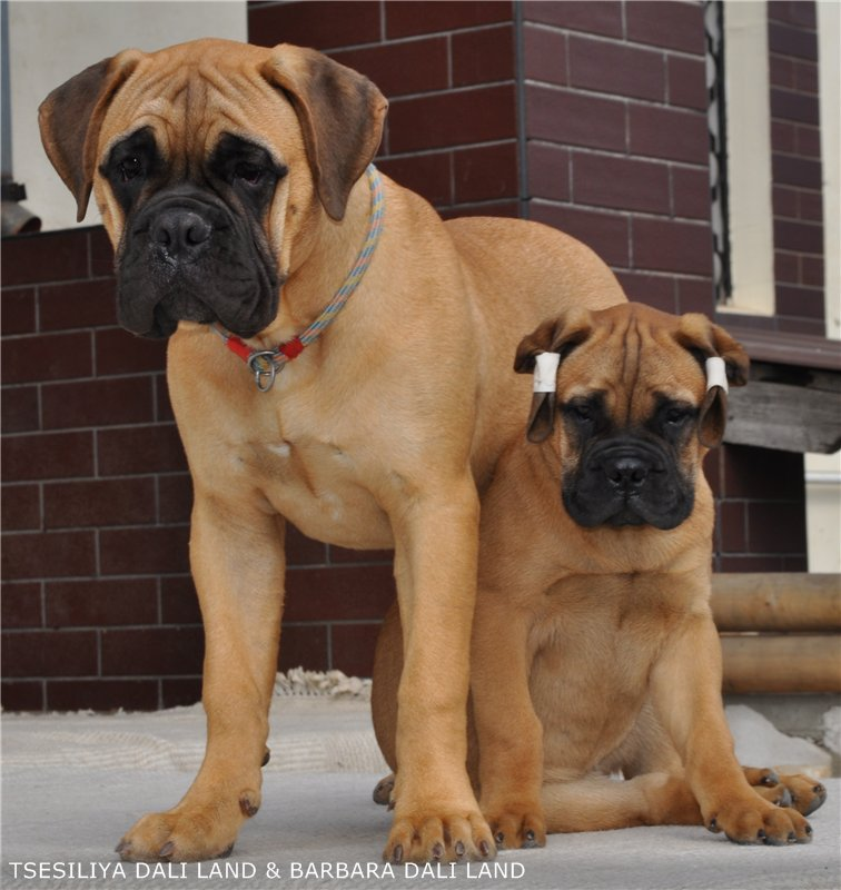 Бульмастиф: характеристика породы, характер собаки, фото, отзывы