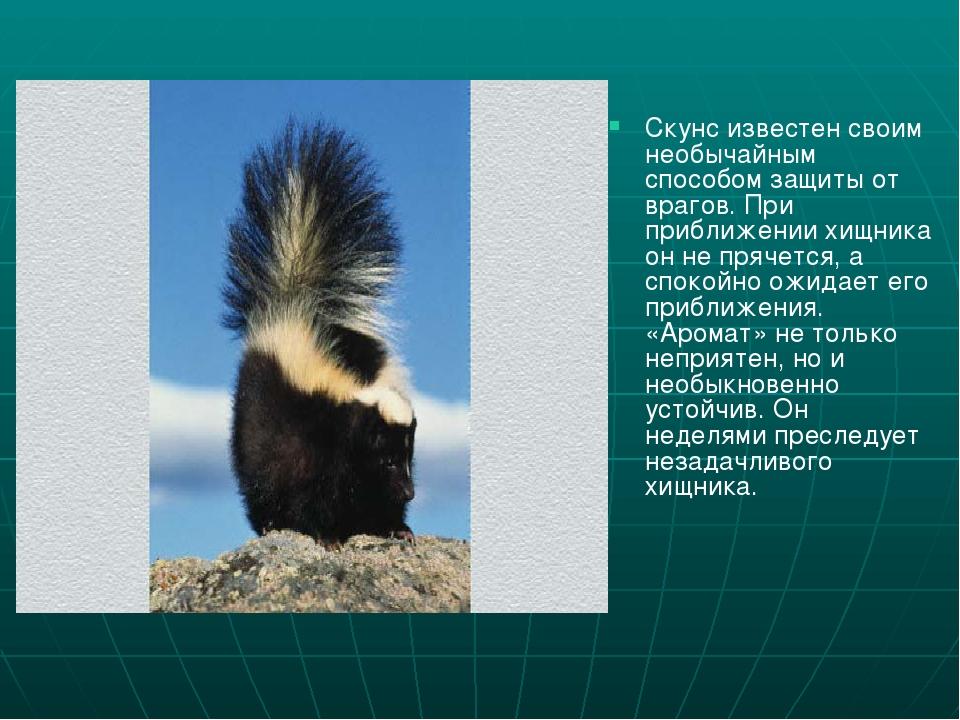Семейство куньих: представители и их описание (фото)