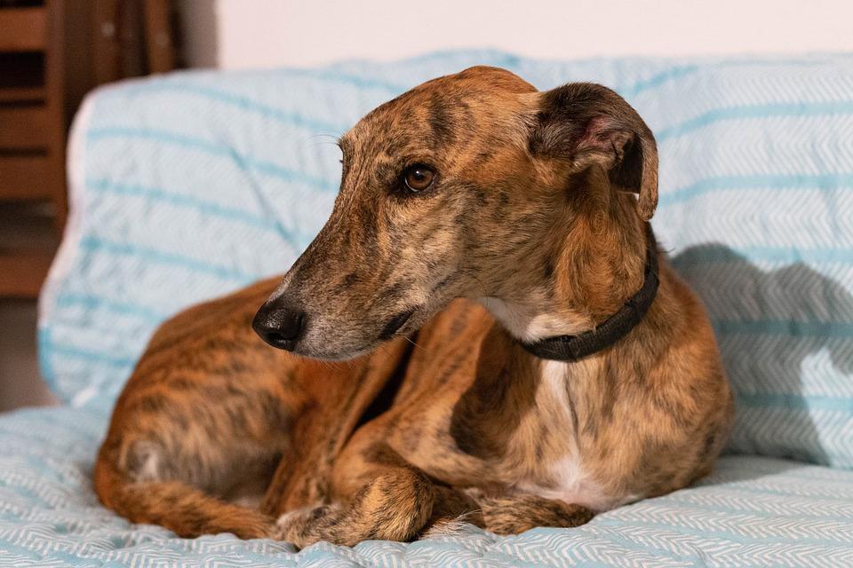 Ленивые породы собак