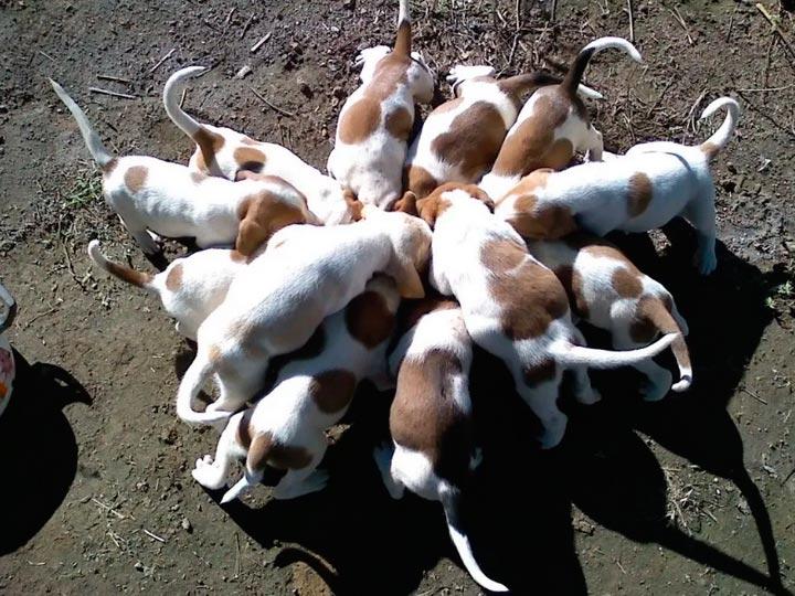 Испанские породы собак — топ 26